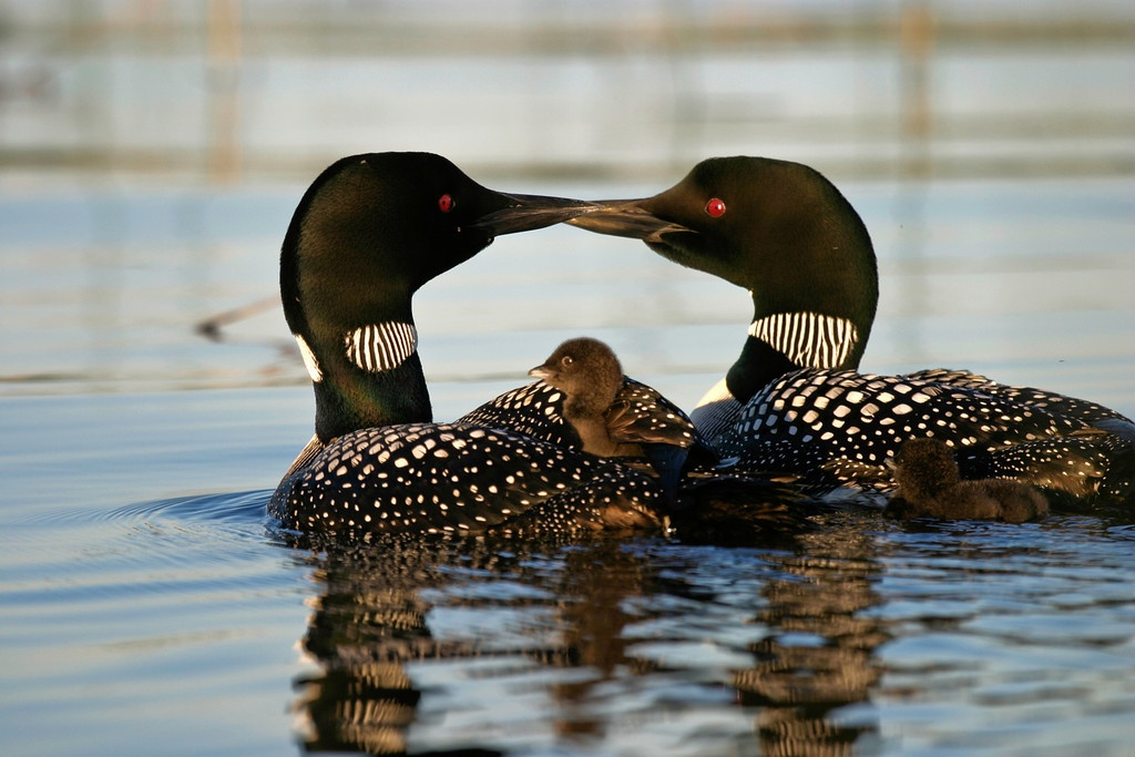 Gunflint Trail Common Loons with chicks, Dennis O'Hara photo