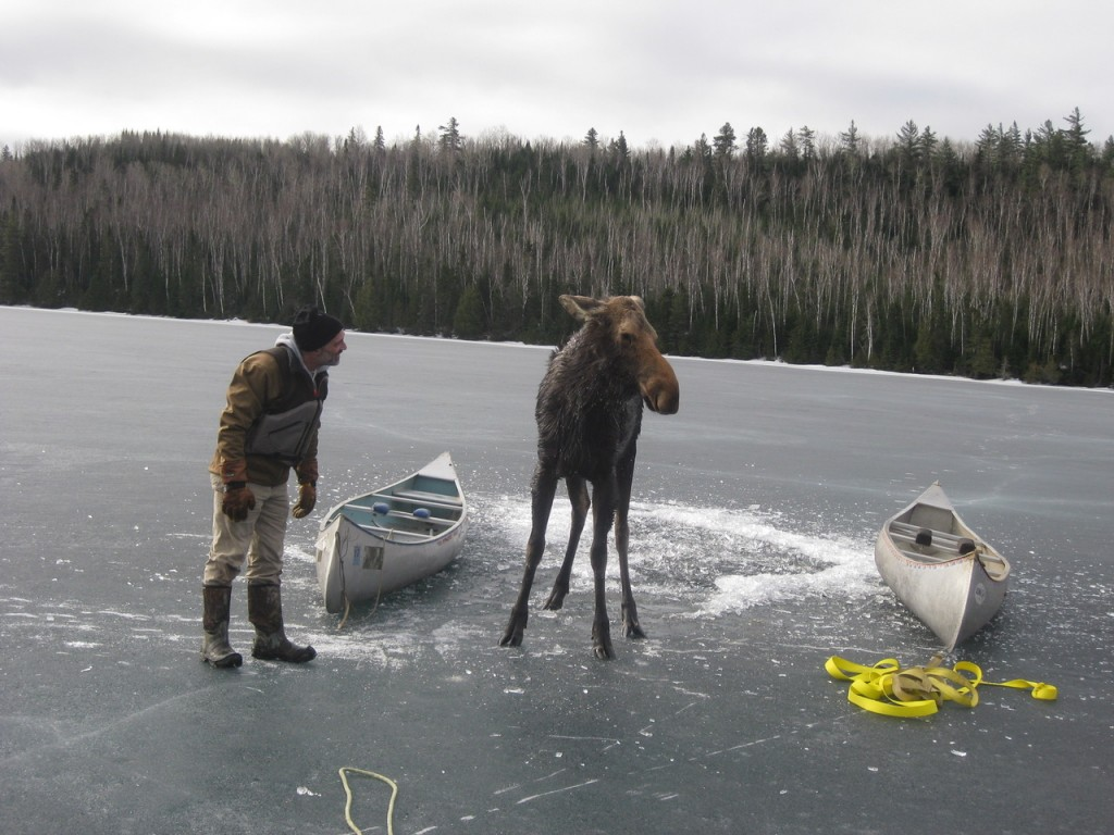 The moose whisperer Dave Seaton of Hungry Jack Outfitters - photo by Jim Morrison