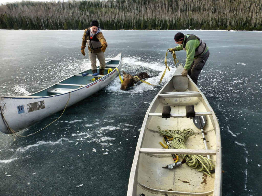 Moose rescue using straps to pull her out - photo credit Bob McCloughan