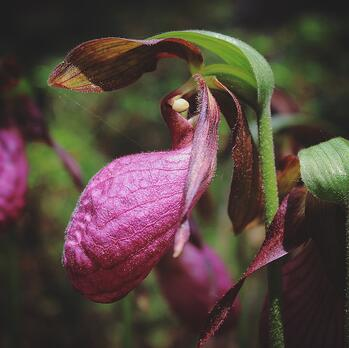 Wild Flower - Pink Lady Slipper - by KVick - VCC UL (3)